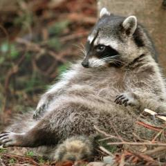 a_very_fat_raccoon