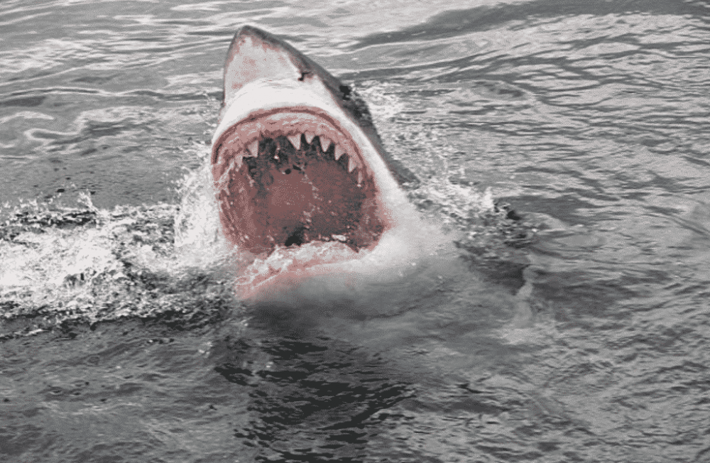 Great-White-Shark-Jaws-1024x667.png